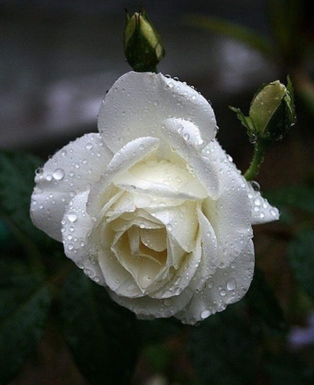 White Beautiful Rose Rozes Pinterest Rose Flowers And Flower