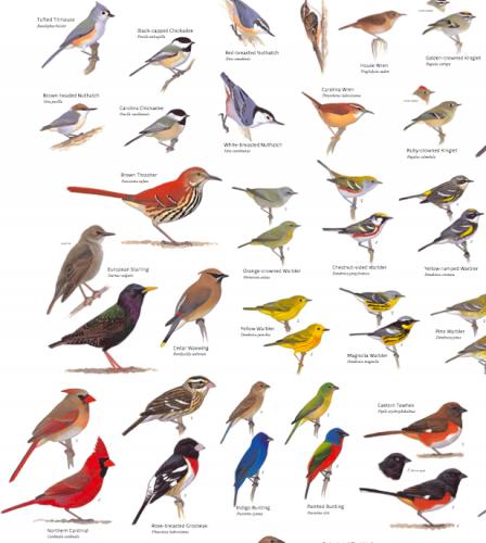 Have You Seen The Sibley Poster? | Backyard birds, Bird ...