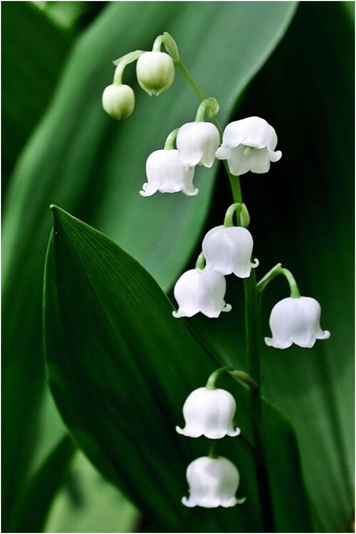 Lily Of The Valley Scientific Name Convallaria Majalis Beautiful Flowers Pretty Flowers Flowers