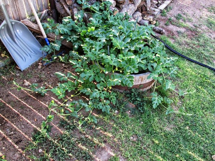 Bob's watermelons - 2014 end of June