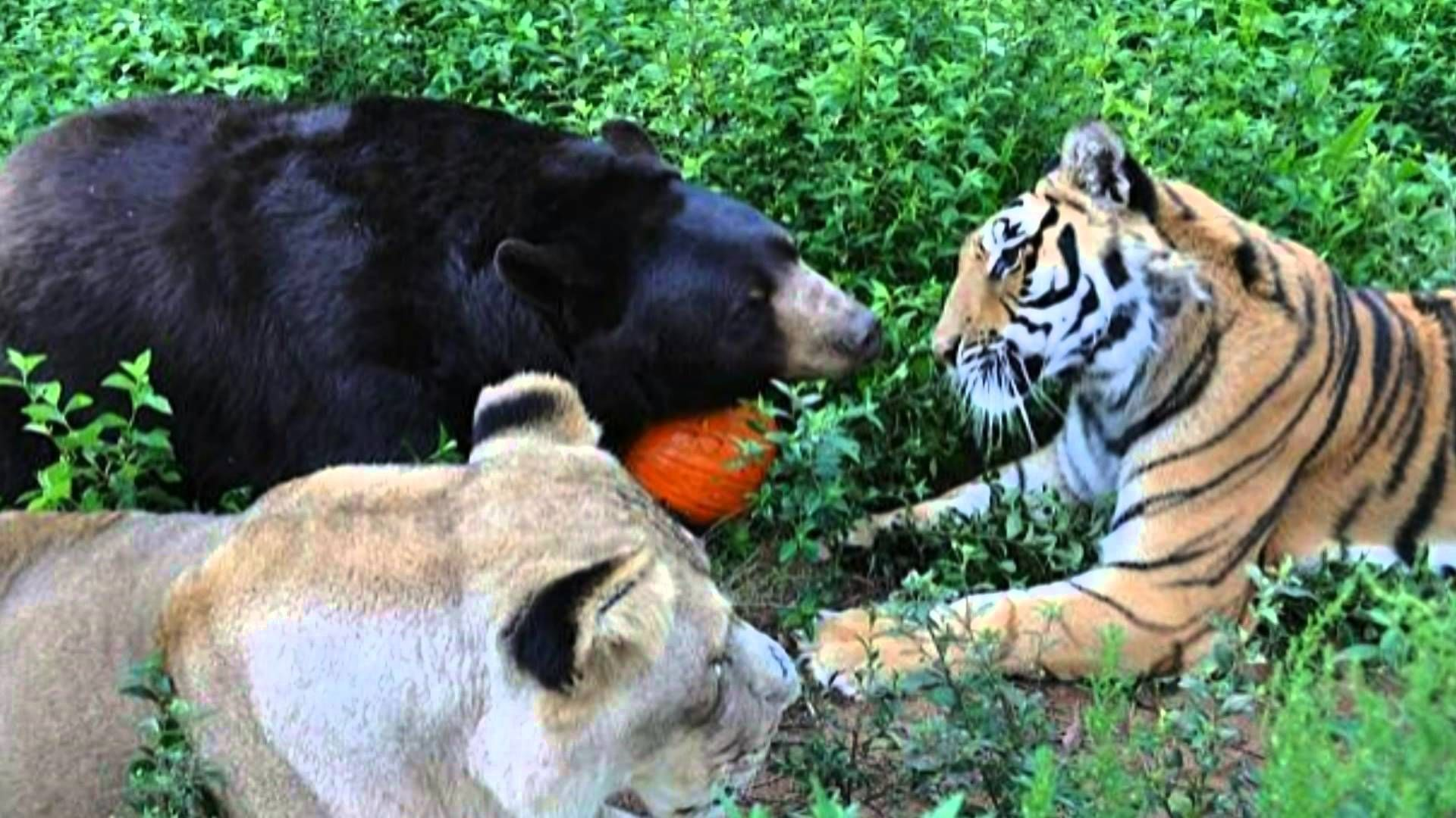 Amazing story of unlikely friendship between a bear, lion