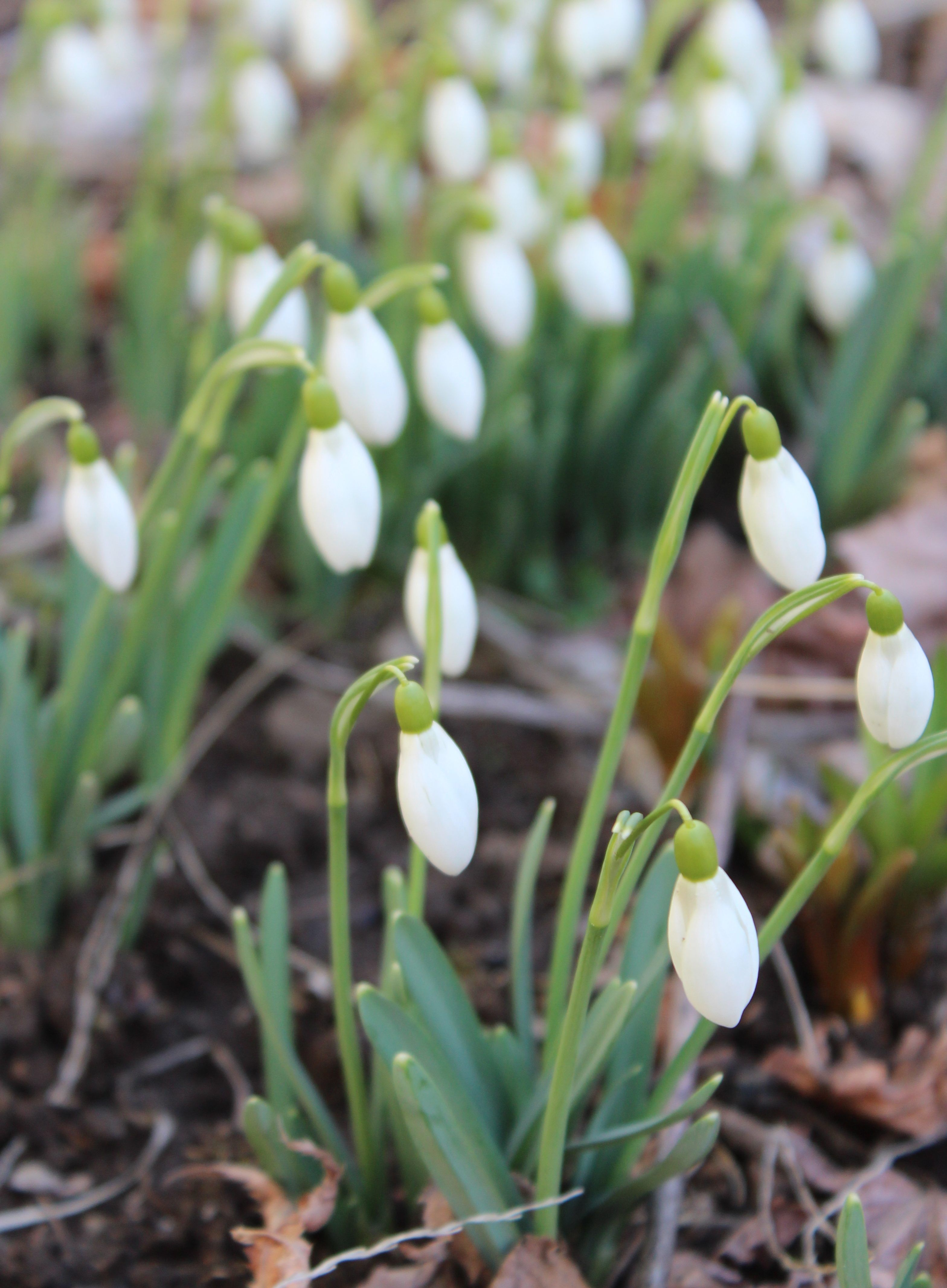 Snow Drop Flowers Galanthus Snow Drops Flowers Early Spring Flowers Flower Identification