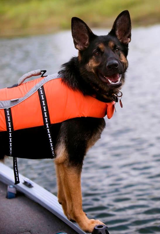 K9 Brea A German Shepherd Search And Rescue Dog Tracks Scents