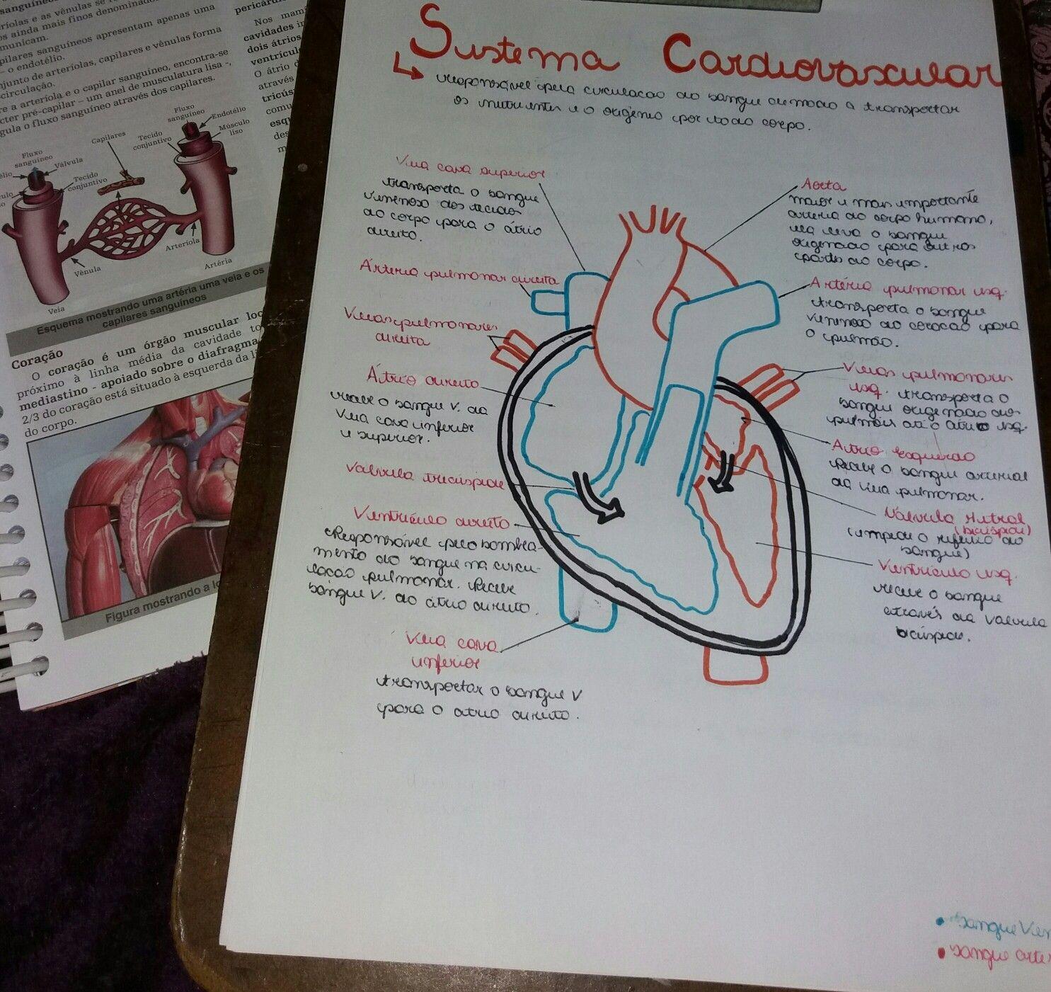 Estudo Sistema Cardiovascular