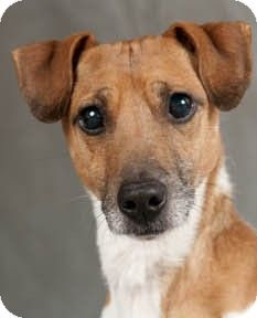 Chicago Il Jack Russell Terrier Dachshund Mix Meet Jackson A
