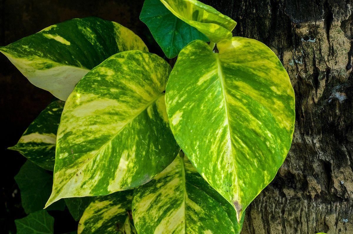 epipremnum aureum - wikipedia | plants | pinterest
