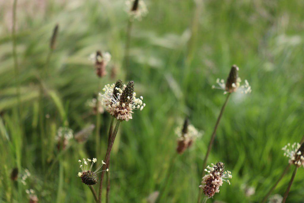 Spitzwegerich Die Heilpflanze Aus Dem Eigenen Garten Plantura Spitzwegerich Heilpflanzen Pflanzen
