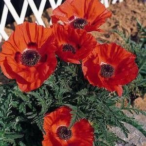 How To Plant Oriental Poppy Seeds Sow Oriental Poppy Seeds In 2