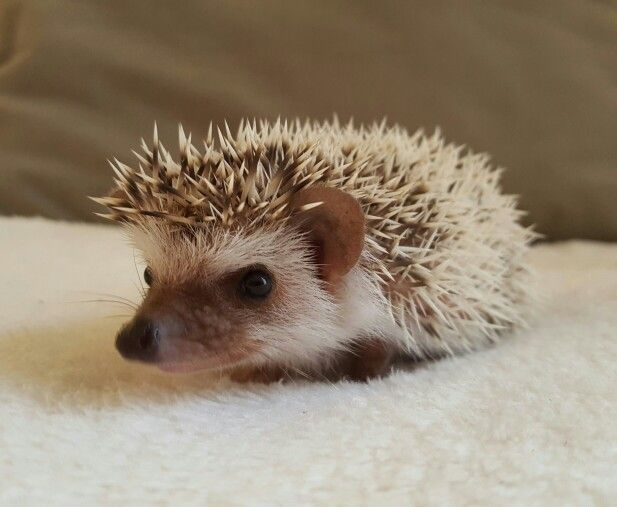 African Pgymy Hedgehog For Sale Durban Cuteness 7wks
