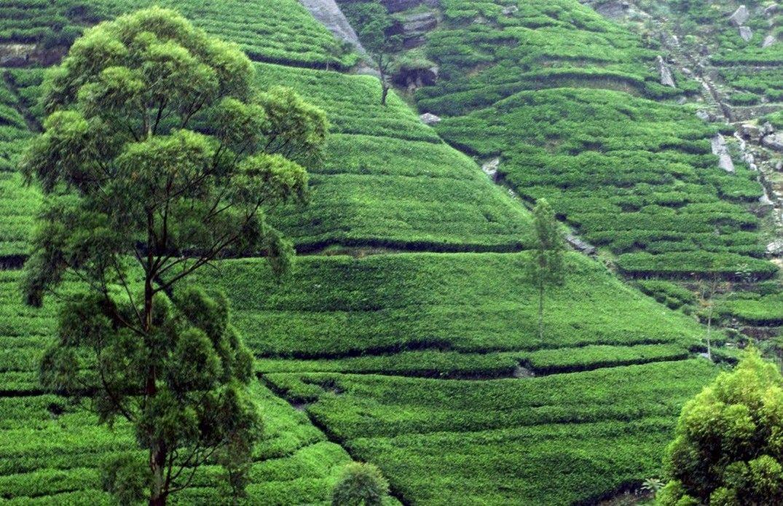 ORGANIC TEA GARDEN in Sri Lanka Tea garden, Organic teas