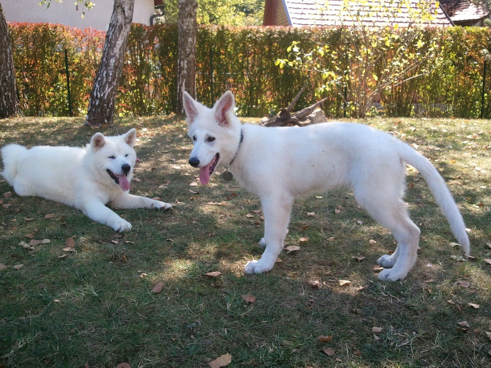 White german shepherd puppies for sale in pa