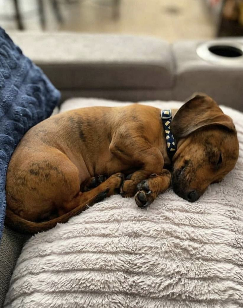 Top Funny Dachshund Sleeping Positions And What They Mean Each