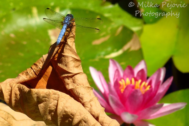 Close-up of a blue dragonfly and pink water lily; blue dragonflies and pink water lilies