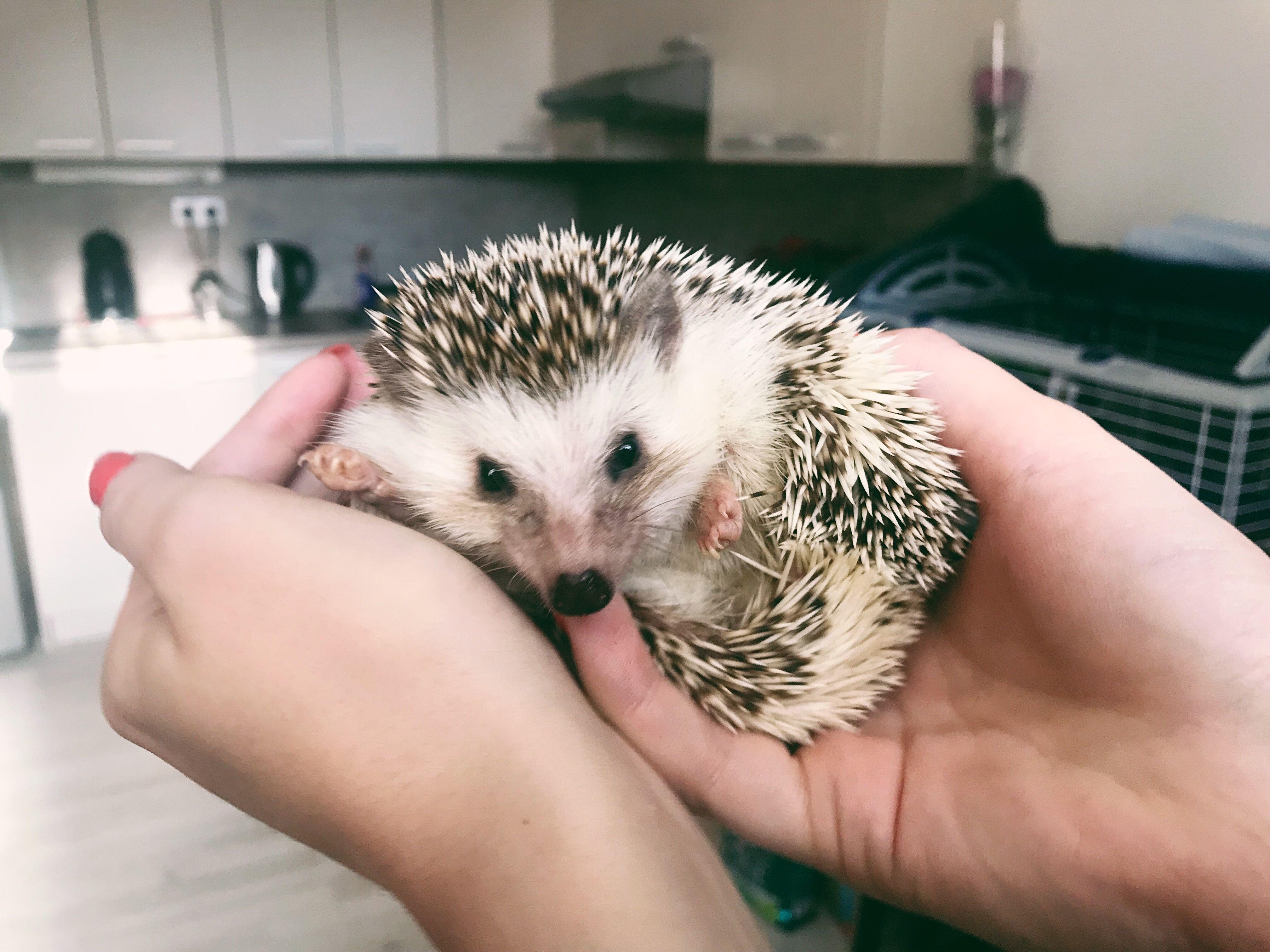 Hedgehogs body and health hedgehog animals pets