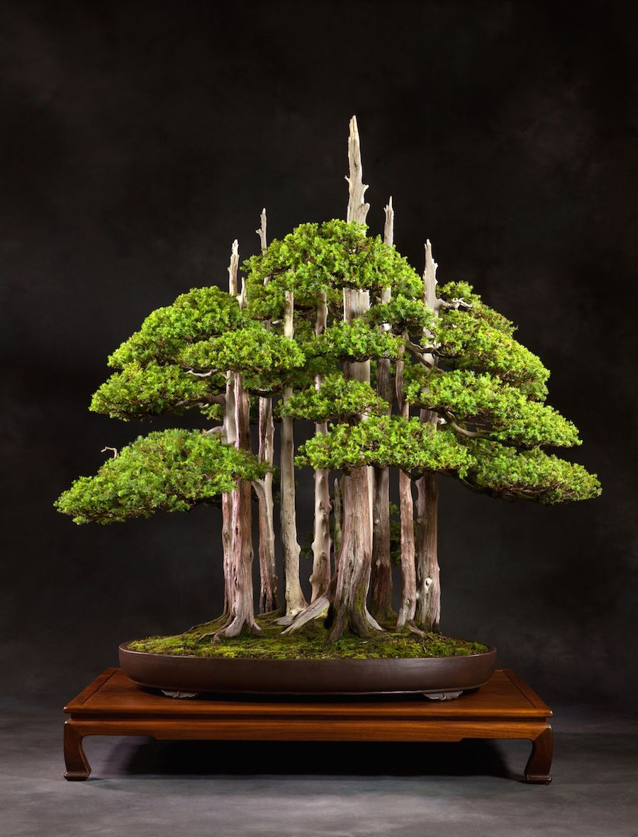 1000 Images About Great Bonsai Trees On Pinterest Maple Bonsai