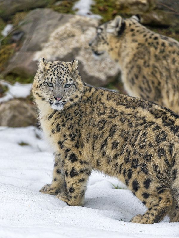 Snow leopard Thalia and her mom in the snow