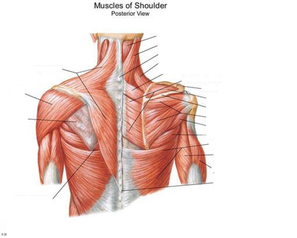 Diagram Of The Shoulder Human Anatomy Organs Anatomy Organs