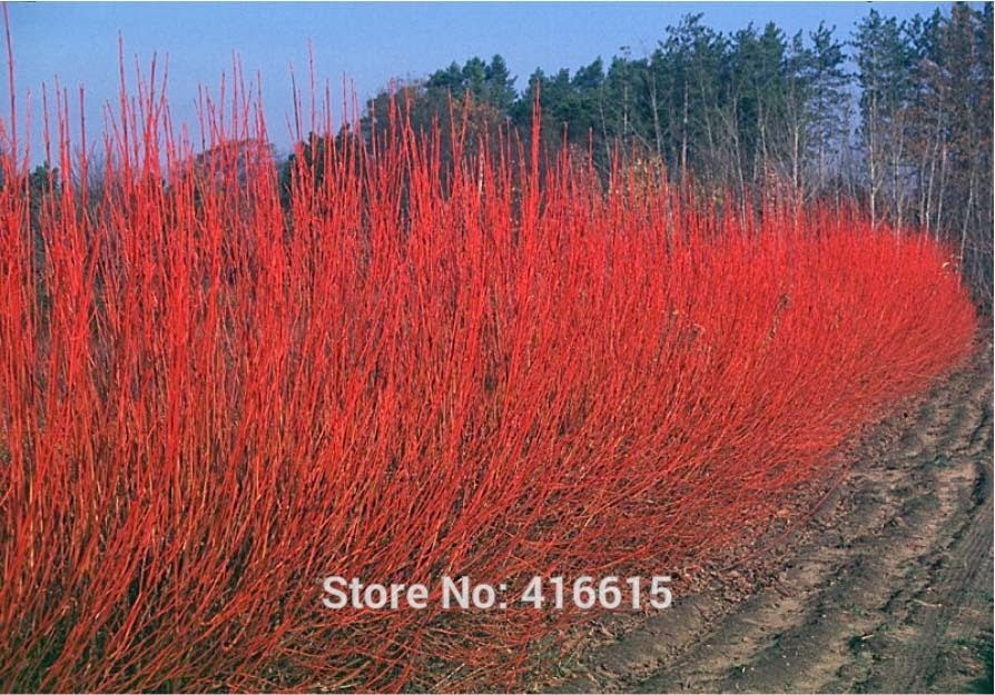 Red Osier Dogwood Seeds Cornus Sericea Arctic Fire Seeds Garden Bonsai Plant Semillas Bonsai Fast Growing Trees Red Twig Dogwood Dogwood Shrub