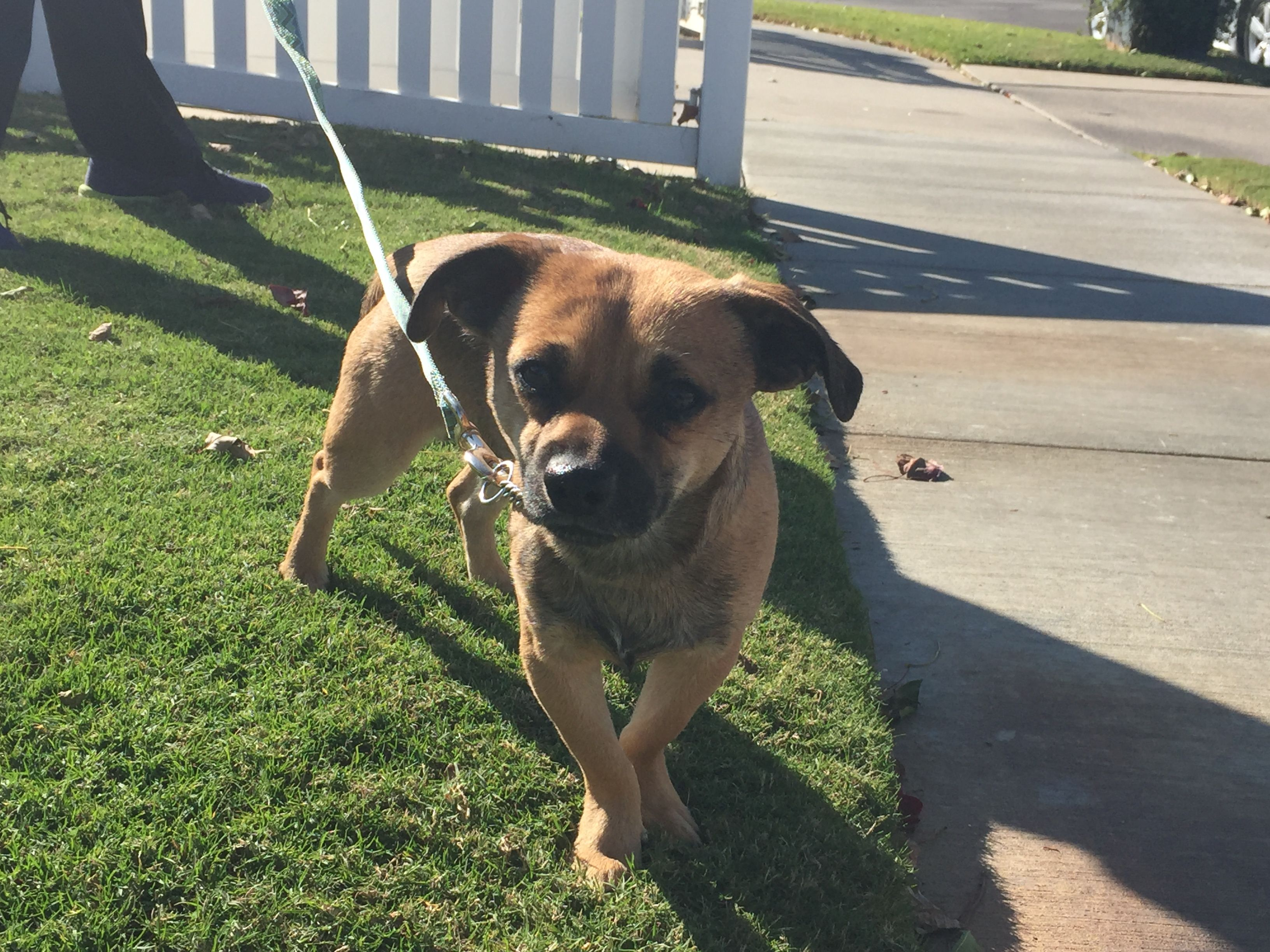 Puggle Dog For Adoption In Newport Beach Ca Adn 745487 On
