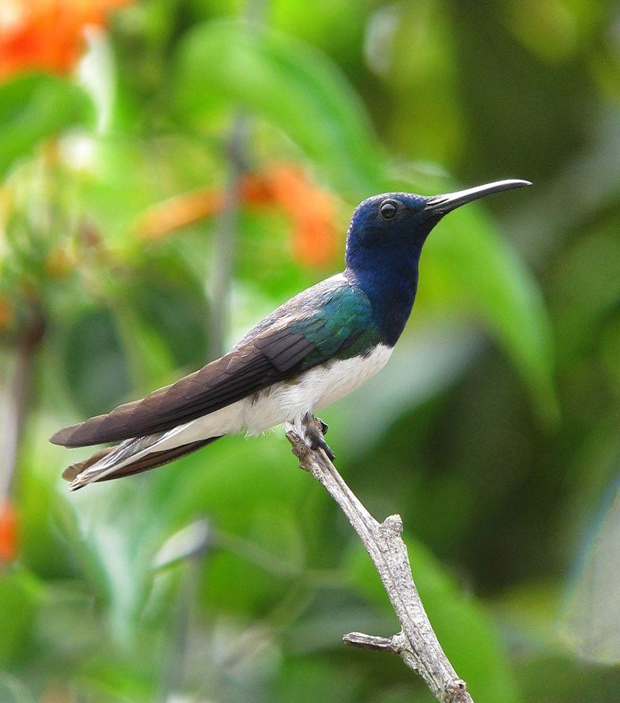 Florisuga mellivora / Colibrí nuquiblanco / White-necked Jacobin (male) | Flickr - Photo Sharing!