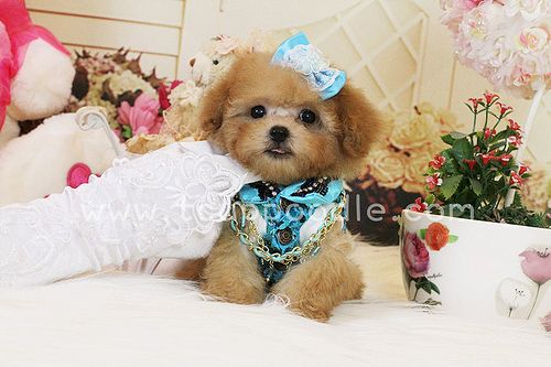 Toy Poodle Teacup Poodle Tiny Toy Poodle Pedigree Poodle Poodle For Sale Poodle Breeder Beautiful Poodle Puppy The Smallest Dog Poodle Puppy Puppies And Kitties Tea Cup Poodle