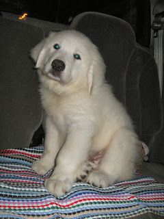 Happy October Great Pyrenees Puppy Great Pyrenees Dog Great