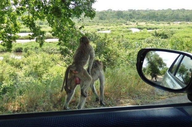 Make love not war! #baboons #monkeys #apes #affen #baboon #animalsex #wildlife #krugerpark #kruegerpark #krugernationalpark #südafrika #southafrica