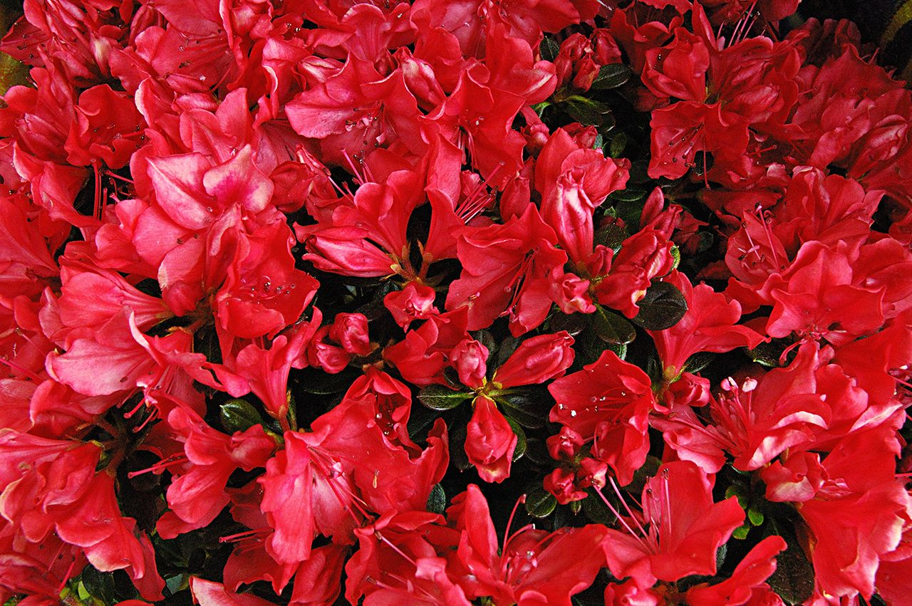 Red Hot Spring Flowers in Barcelona Spring into Color
