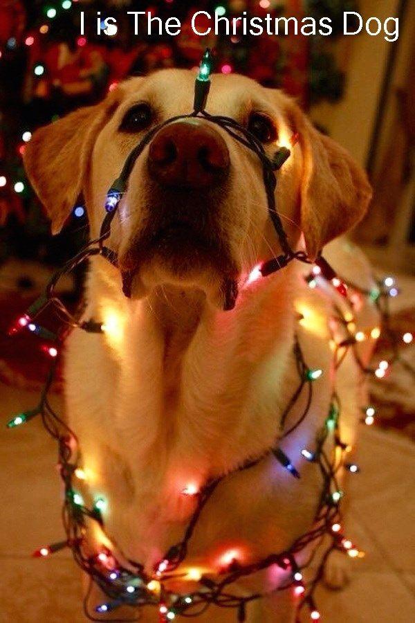 Dog ready to go at christmas... | Amazing Dog Stories | Pinterest