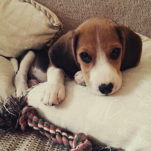Sweet Little Beagle Arrived Malnourished And With Lots Of