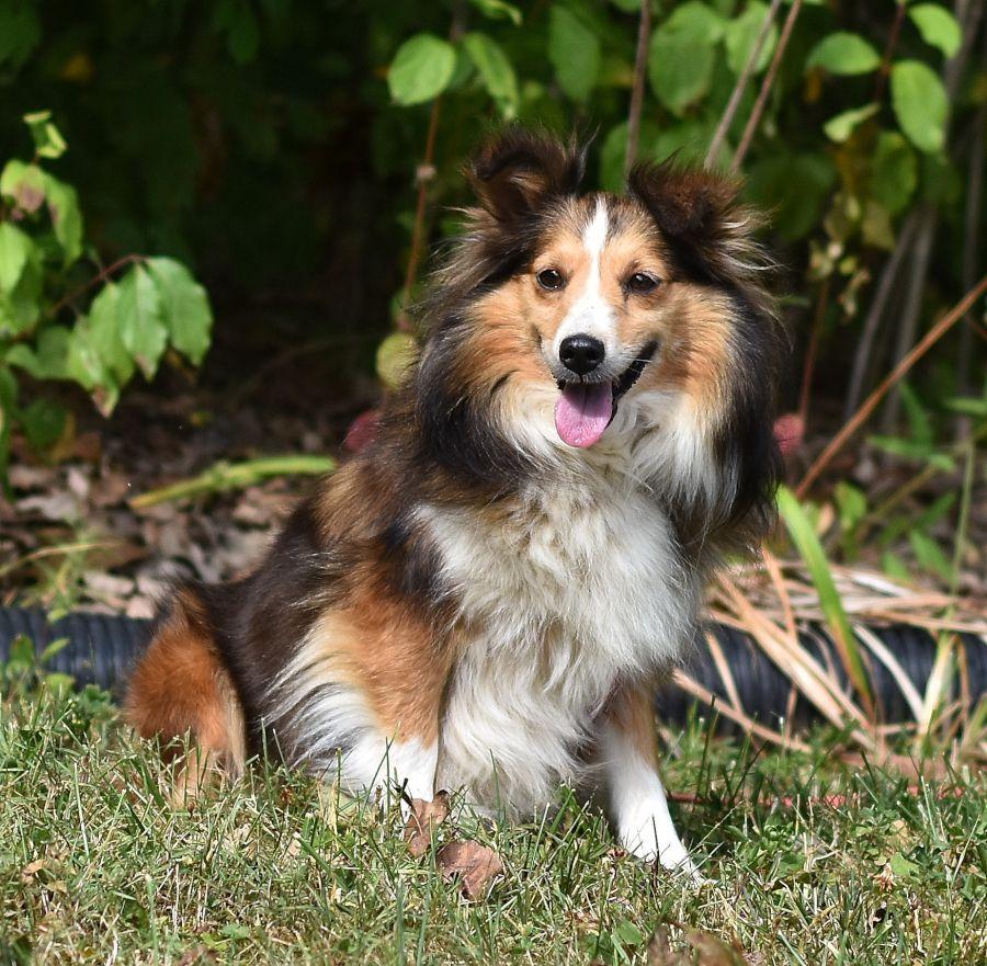 Meet Sasha A Super Friendly Shetlandsheepdog Sasha Loves To Play And Will Make A Loyal Fami Sheltie Puppies For Sale Sheep Dog Puppy Sheltie Puppy