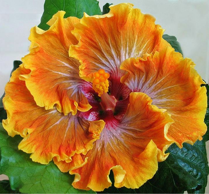 American Hibiscus Hibiscus Plant Hibiscus Beautiful Flowers
