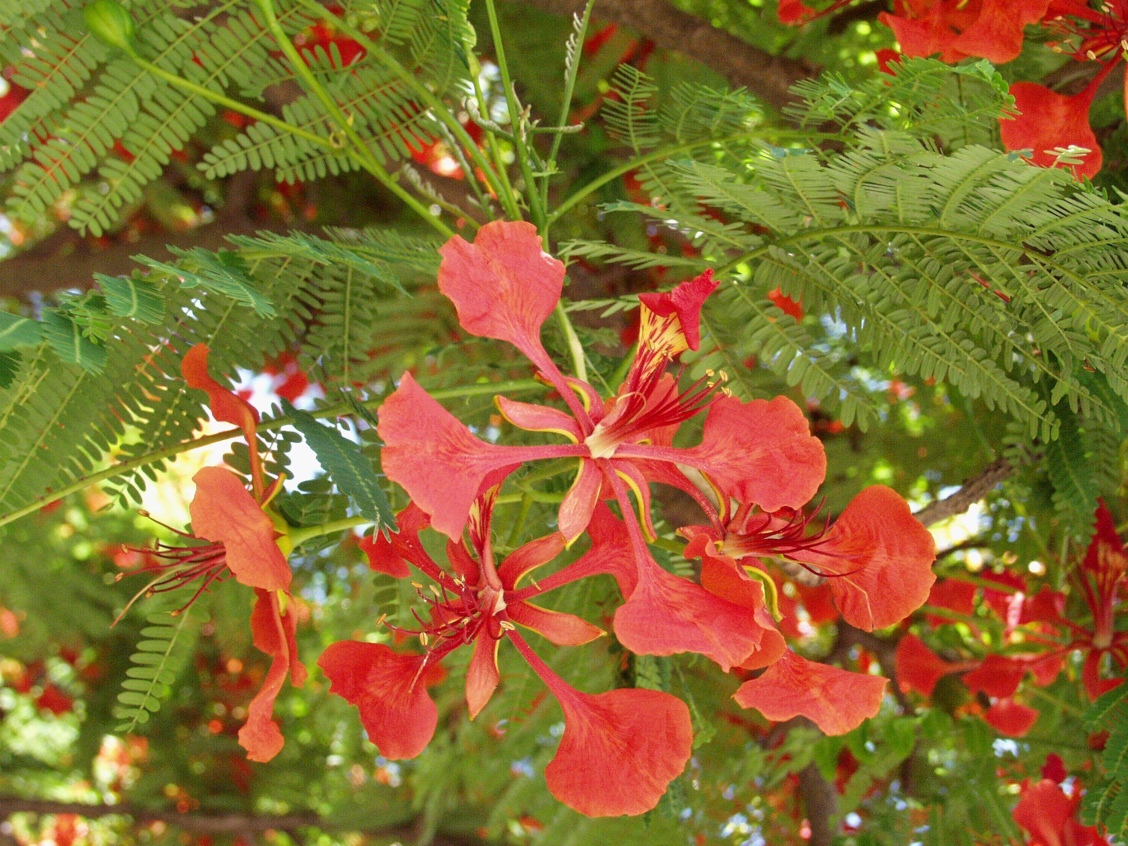 Fleur De Flamboyant Ile De La Reunion Ocean Indien Reunion