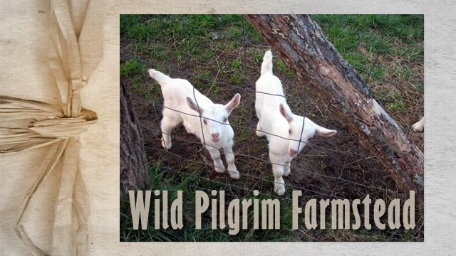 Wild Pilgrim Farmstead • Wild Pilgrim Farmstead is a modern western North Carolina Farmstead using modern and traditional methods & skills. Farmstead products available for the season at the Watauga County Farmers Market