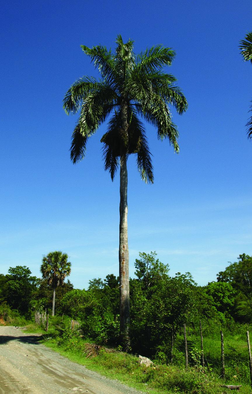 Arecaceae Palma Real Roystonea Hispaniolana Tropical