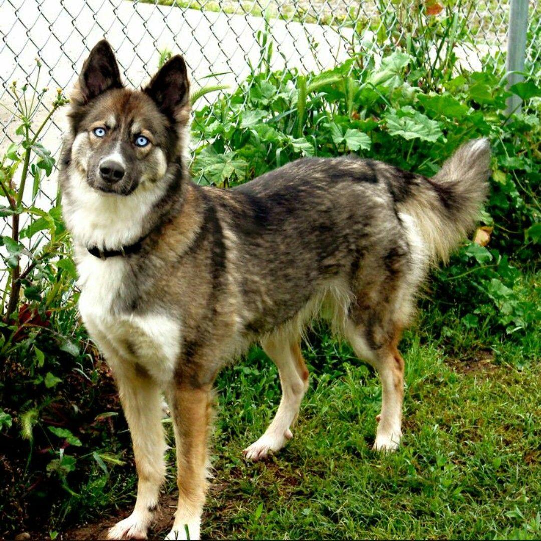 Wolf German Shepherd Puppies Sale Alaskan Husky German Shepherd Mix Puppies German Shepherd Mix Puppies Shepherd Mix Puppies German Shepherd Mix