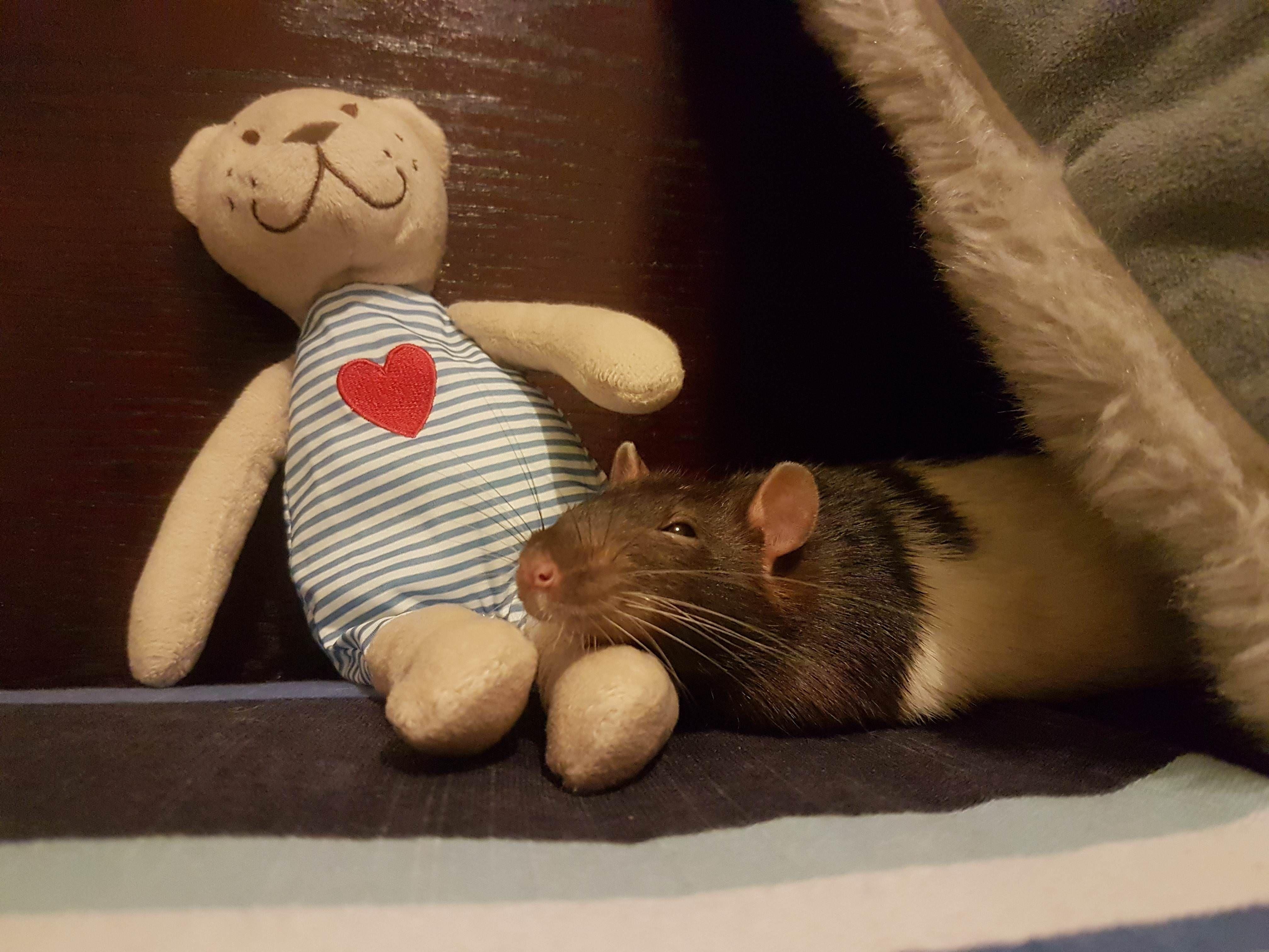 Bed rat in bed again aww cute rat cuterats