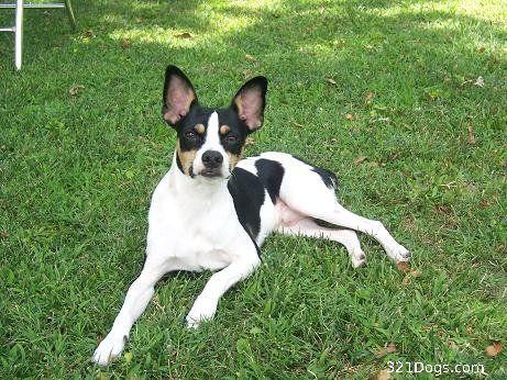Rat Terrier Background Rat Terrier Wallpapers Pictures Breed Information Terrier Rat Terriers Breeds