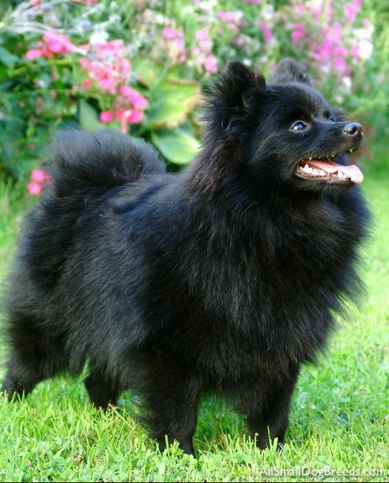 Dog Breeds Spitz Dogs