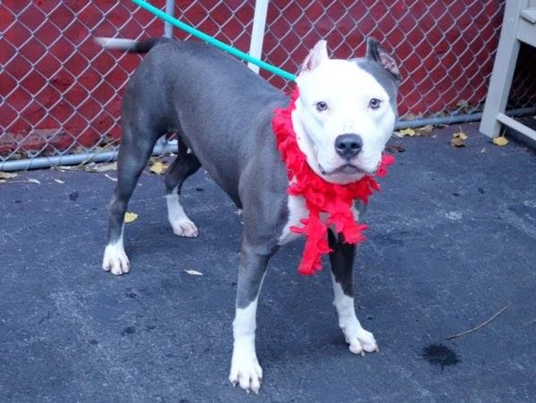 SAFE --- Manhattan Center   MILLIPEDE - A1022538   FEMALE, GRAY / WHITE, AMERICAN STAFF MIX, 2 yrs STRAY - STRAY WAIT, NO HOLD Reason STRAY  Intake condition EXAM REQ Intake Date 12/06/2014, From NY 10029, DueOut Date 12/09/2014 https://www.facebook.com/photo.php?fbid=918265174853029