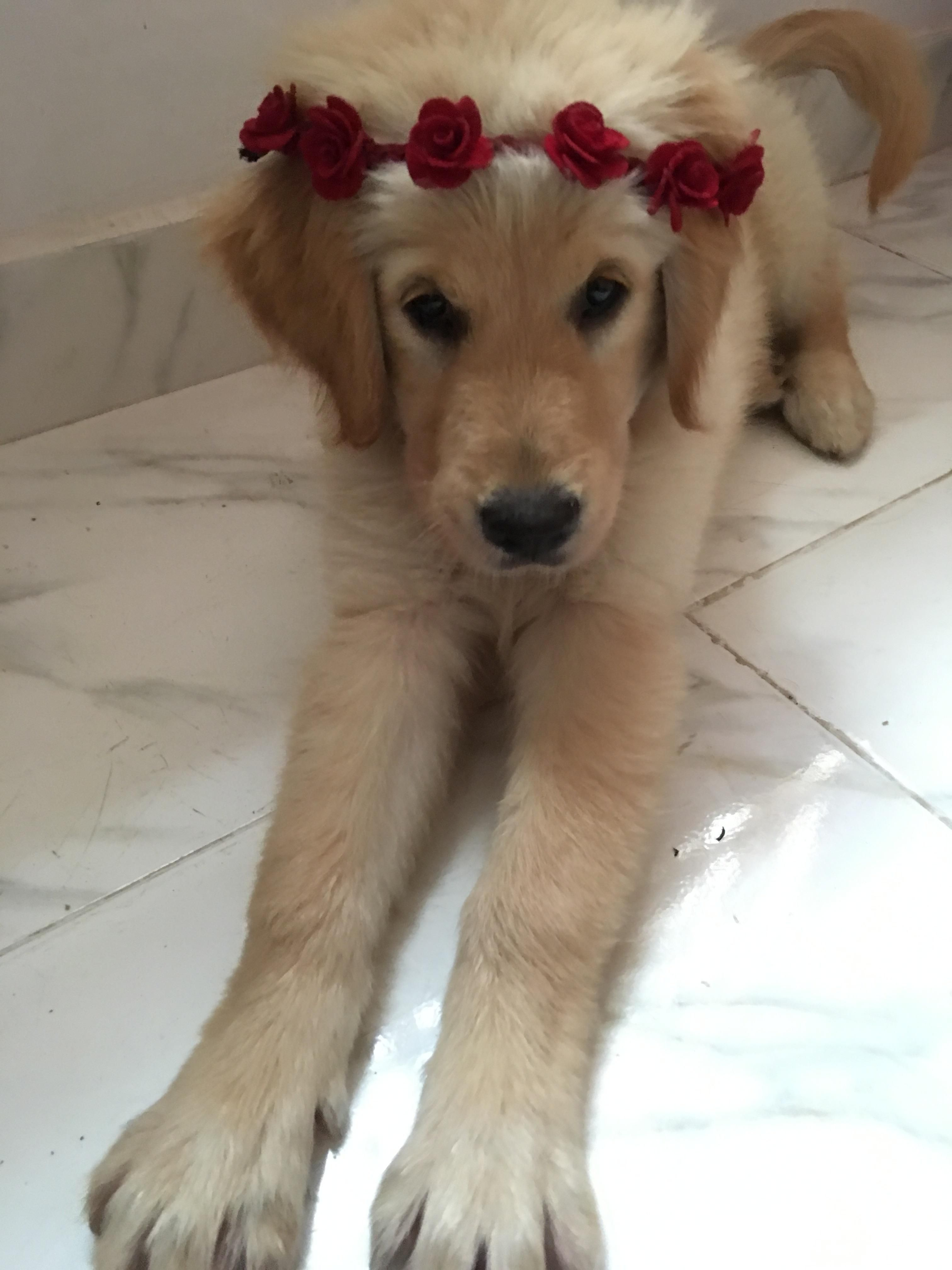 My Baby At About 5 Months Old Goldenretrievers Dogs Golden