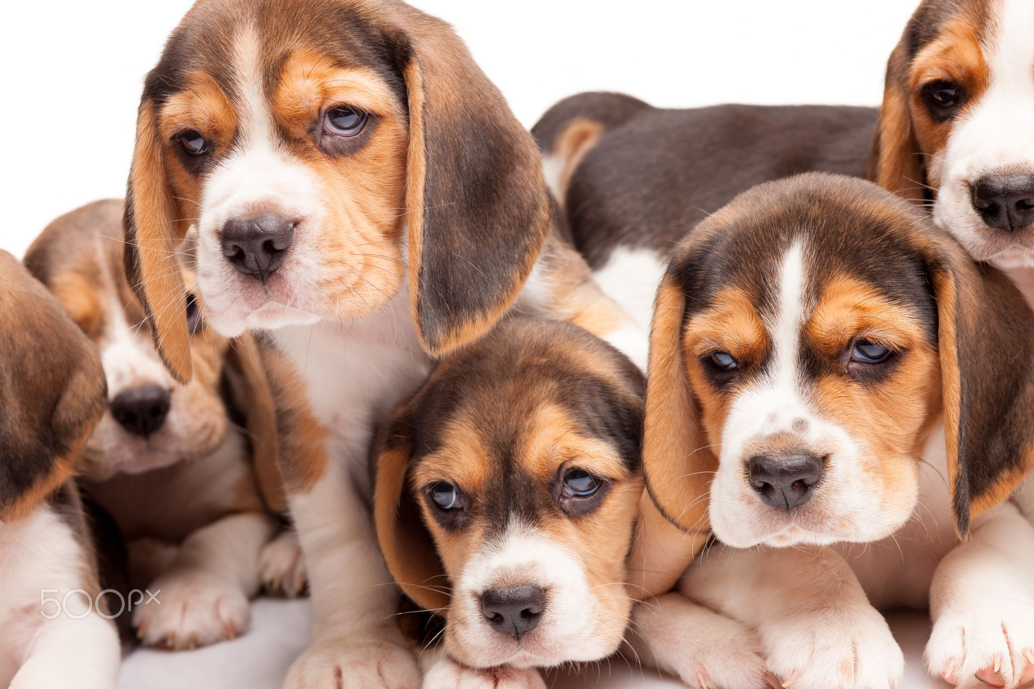 Beagle Puppies On White Background Beagle Puppy Lying On The