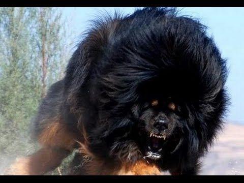 Resultado De Imagen De Perro Leon El Mas Grande Del Mundo Perro Tibetano Perro Más Caro Del Mundo Razas De Perros