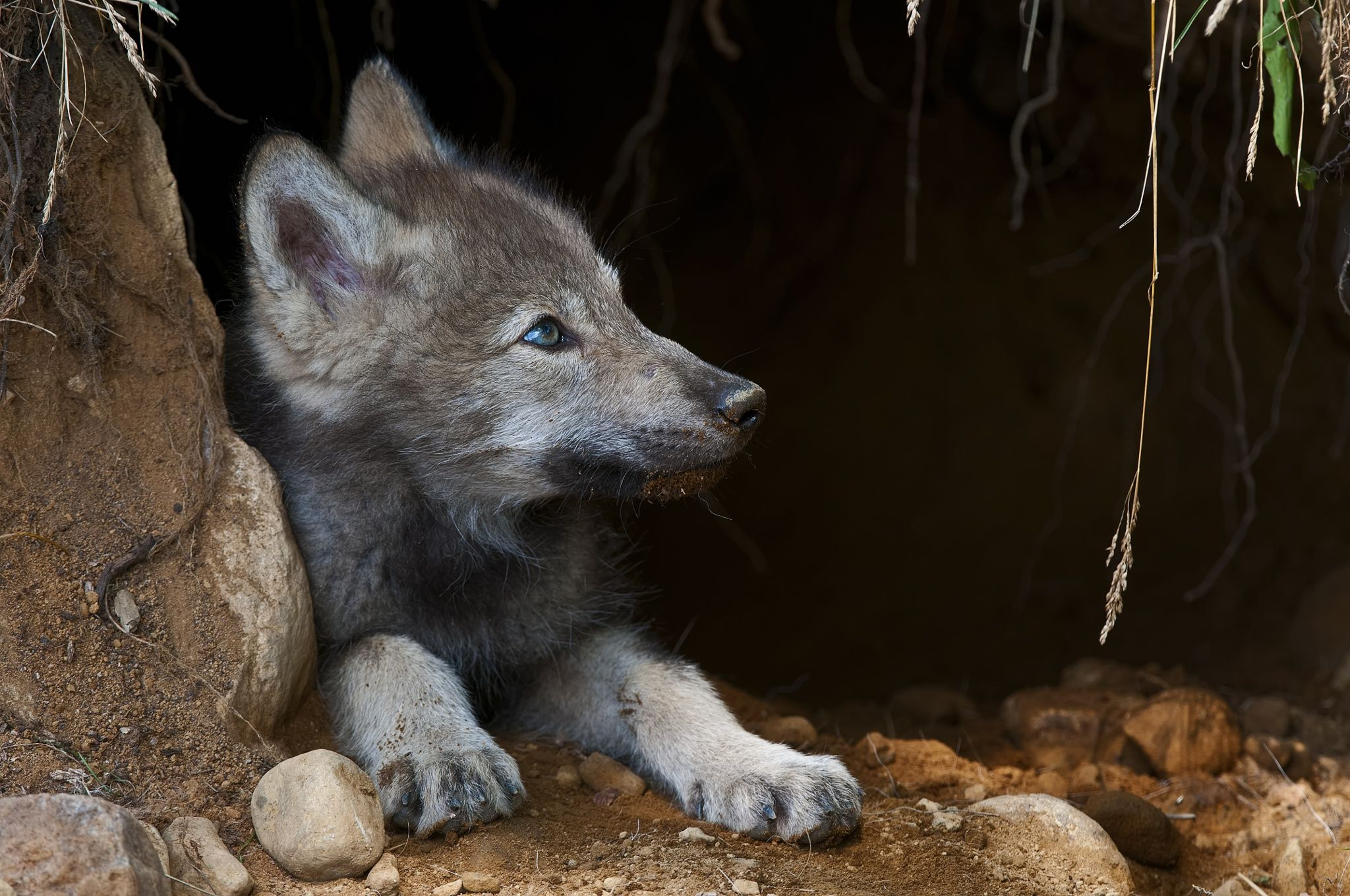 Timber Wolf Pup In Den 3 -