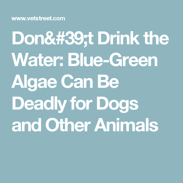 Don't Drink the Water: Blue-Green Algae Can Be Deadly for Dogs and Other Animals