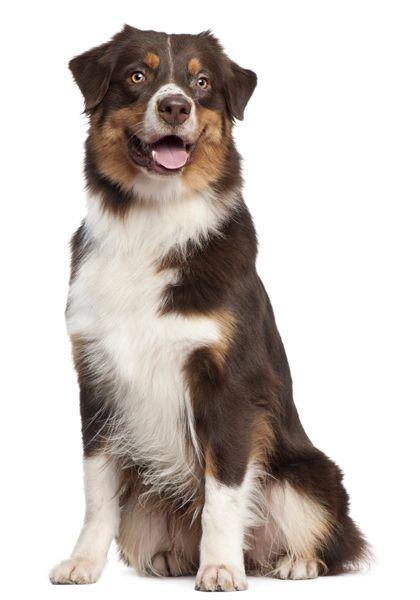 Aussie Australian Shepherd Dog Breeder Australian Shepherd Dogs