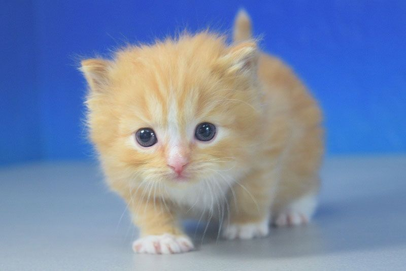 Jasper Red Mitted Tabby Solid With A Blaze Ragdoll Cat Kitten