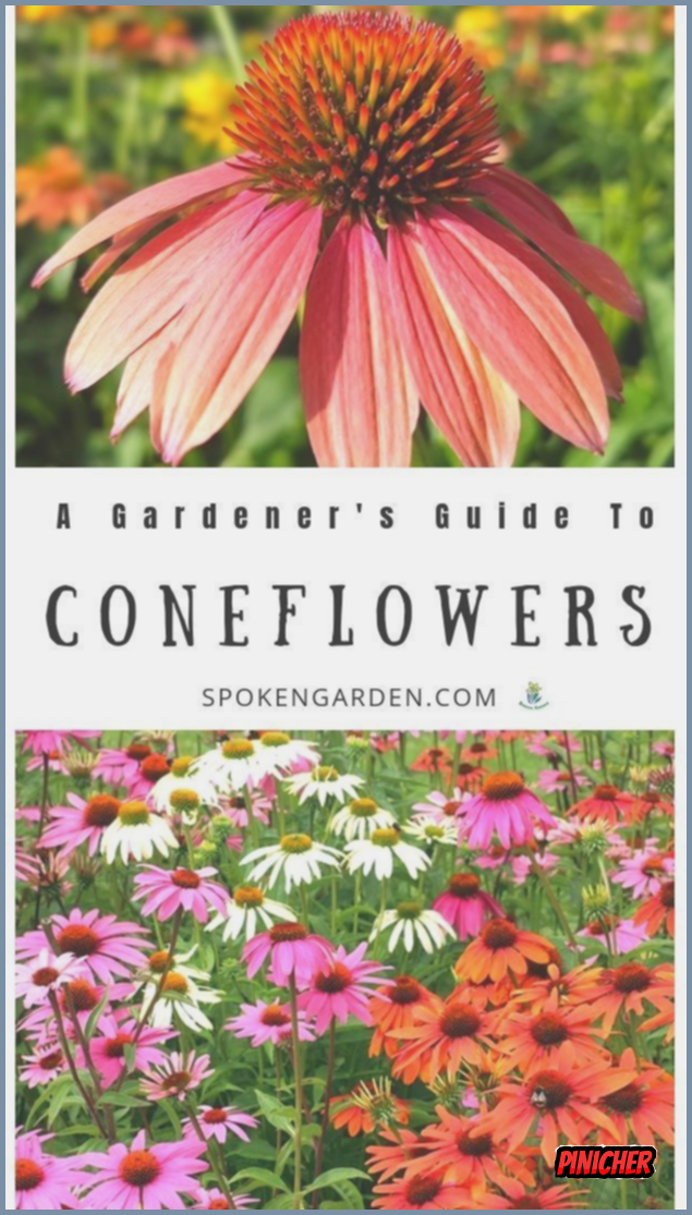 Care For Your Coneflowers The Right Way In 2020 Drought Tolerant Perennials Fragrant Garden Garden Care