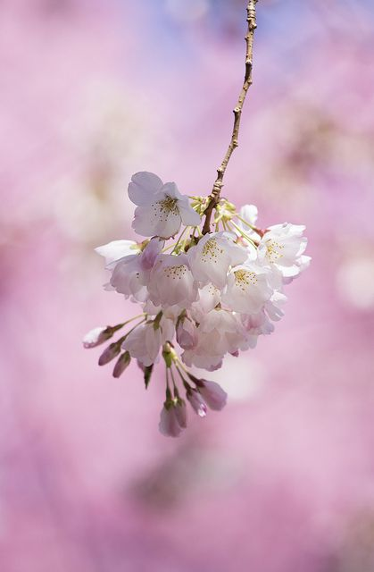 Color Of Sakura Pretty Flowers Flower Field Flower Beauty