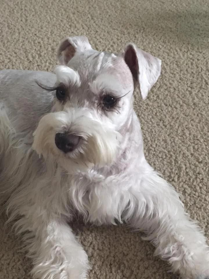 Miniature Schnauzer – Smart and Obedient | Schnauzer puppy